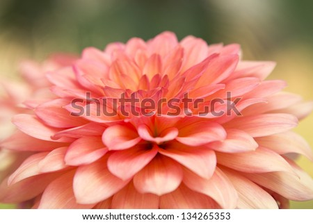 Close up of pink dahlia. - stock photo