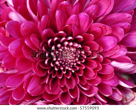 close up of pink Daisy - stock photo