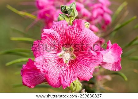 Close up of pink hollyhock flower in garden - stock photo