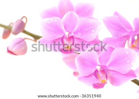 Close-up of pink orchid with water drops on its petals, isolated on white background - stock photo