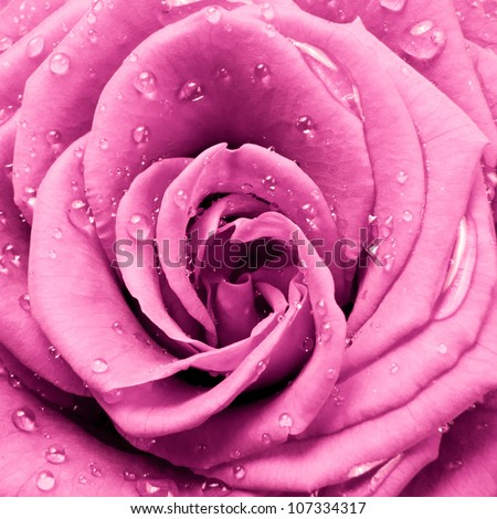 close up of pink rose - stock photo