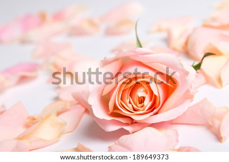 close up of pink rose and petals over white background - stock photo