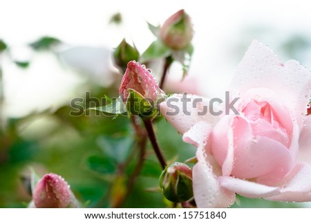 close-up of pink rose bud with water drops (shallow DOF) - stock photo
