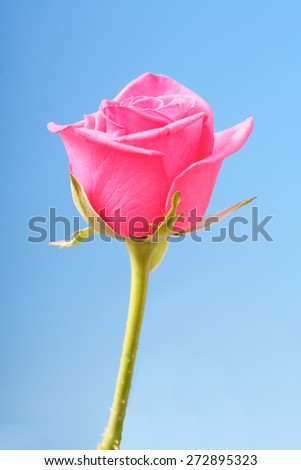 Close-up of pink rose on blue background - stock photo