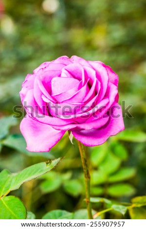 Close up of pink rose, Thailand - stock photo