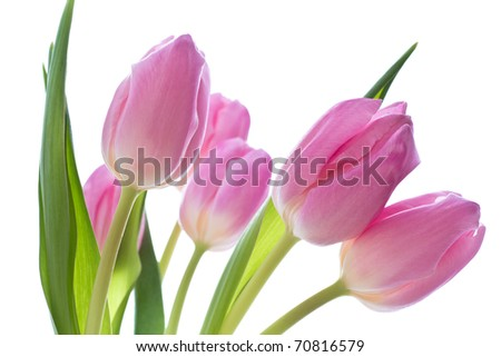 close up of pink tulips on white background - stock photo