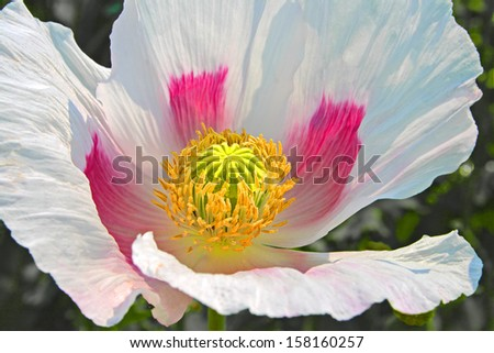 close up of poppy flower - stock photo
