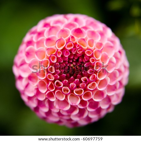 Close Up of Pretty Dahlia Flower - stock photo