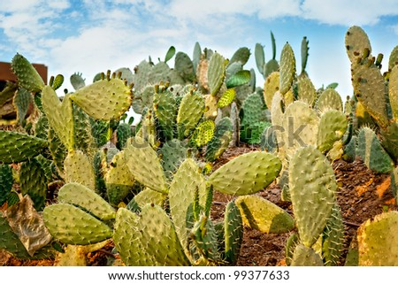 Close up of Prickly Pear cactus in desert. - stock photo