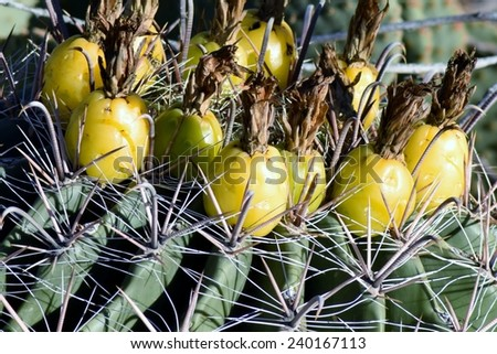 Close up of prickly pear fruit - stock photo