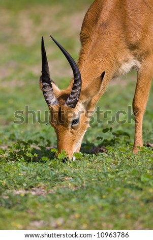 Close-up of puku feeding in grassland; Kobus vardoni; Botswana - stock photo