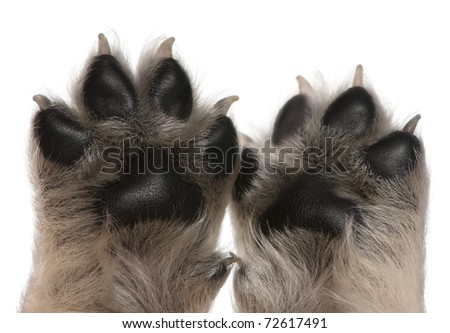Close-up of puppy's paws, 4 weeks old, in front of white background - stock photo
