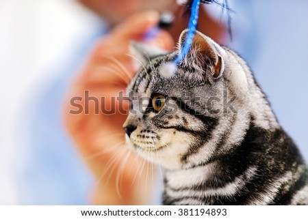 Close up of pure breed cat at pet show - stock photo