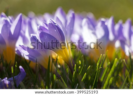 Close up of purple and yellow crocuses on sunny day in early spring - stock photo
