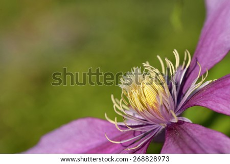 Close up of  Purple clematis flower  - stock photo