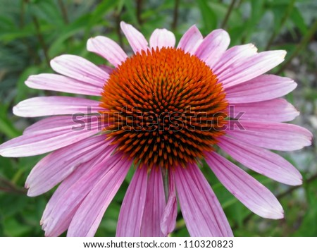 Close up of purple coneflower plant (Echinacea purpurea) - stock photo