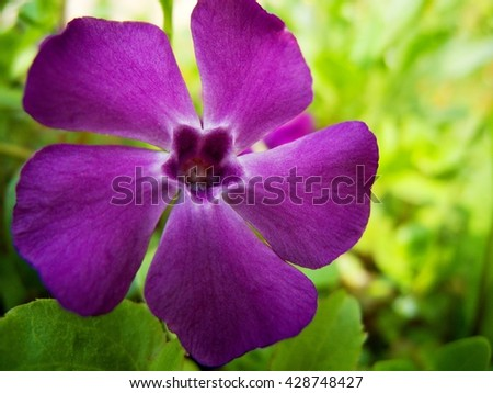 Close up of purple flower. Detail of magenta petals. View of a wildflower in grass. Green grass surrounding purple blooming flower.  - stock photo