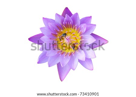 close up of purple lotus and bees on white background - stock photo