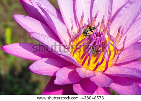 Close up of purple Lotus flower with honey bee with lotus leave in water. - stock photo