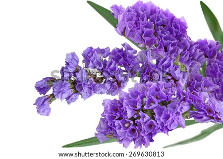 Close up of Purple statice sinuata flower isolated on white background - stock photo
