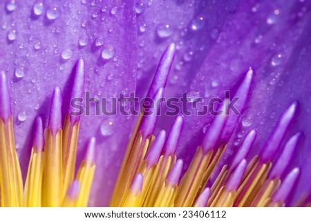 Close up of purple water lily - stock photo