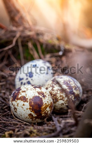Close up of quail eggs in old nest. Shallow depth of field - stock photo