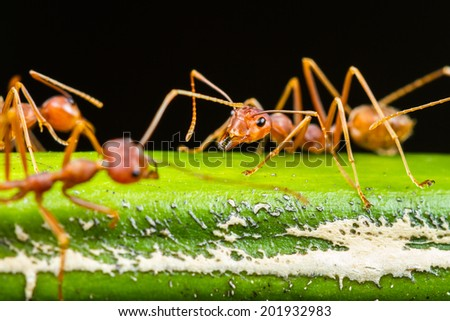 Close up of red ant on green leaf - stock photo