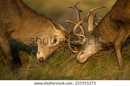 Close-up of Red deer stag fight during the rut, UK - stock photo