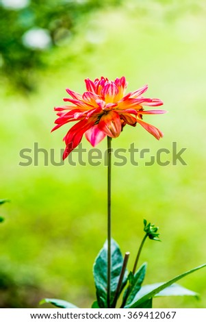 Close Up of Red Dhalia Flower, Thailand. - stock photo