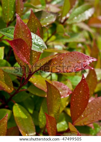 """Close-up of red en green leaves of evergreen plant (Photinia fraseri """"Red Robin"""") after rain - stock photo"""