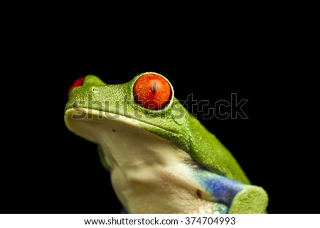 Close up of Red-eyed Green Tree Frog (Agalychnis callidryas)  staring upwards - stock photo