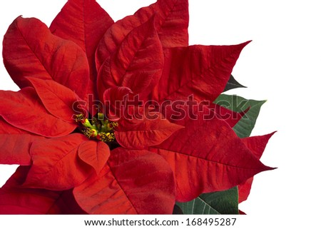 Close up of red poinsettia isolated on white  - stock photo