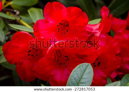 Close up of red Rhododendron blooms on bush - stock photo