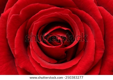 Close up of red rose petals for background - stock photo