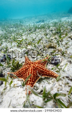 close-up of red sea star or starfish resting on white sand of ocean floor in Caribbean Sea - stock photo