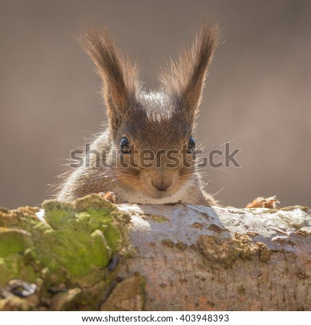 close up of red squirrel behind tree trunk with moss watching to the lens - stock photo