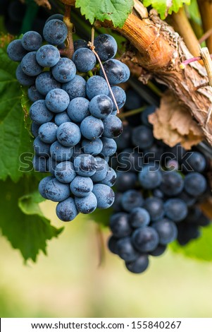 Close up of red wine grapes hanging on the vine in the afternoon sun - stock photo