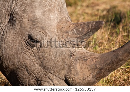 Close-up of rhino head with big horns - stock photo