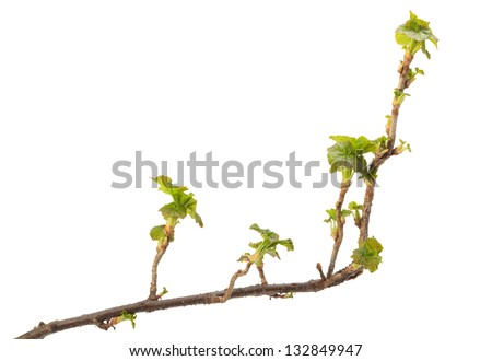 Close-up of Ribes nigrum twig with fresh leaves isolated on white - stock photo