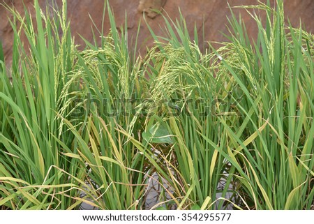 Close-up Of Rice Stalks In A Paddy Field - stock photo