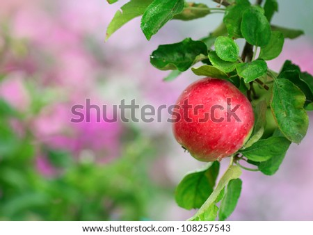Close-up of ripe apple in the garden - stock photo