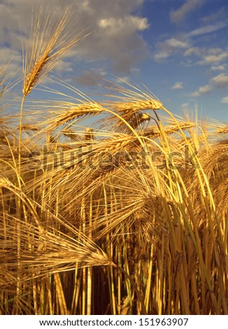 Close up of ripe Barley crop just before harvesting - stock photo