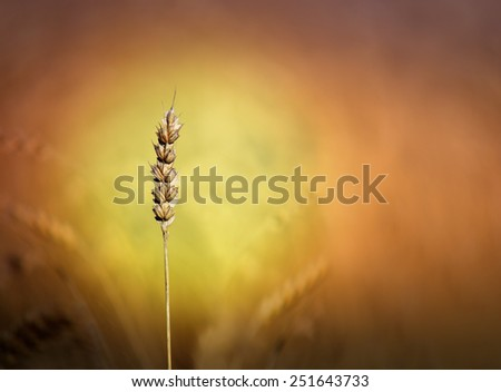 close up of ripe cereal on colorful background - stock photo