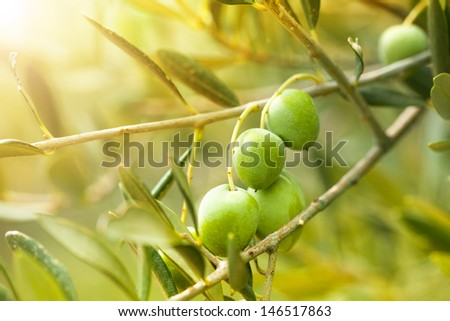 Close-up of ripe green olives on the tree branch - stock photo