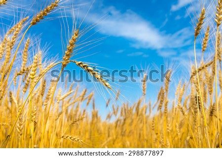 close up of ripe wheat ears against blue sky. - stock photo