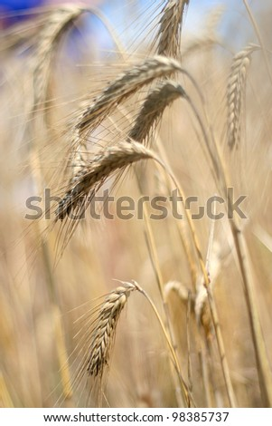 Close up of ripe wheat ears . Selective focus - stock photo