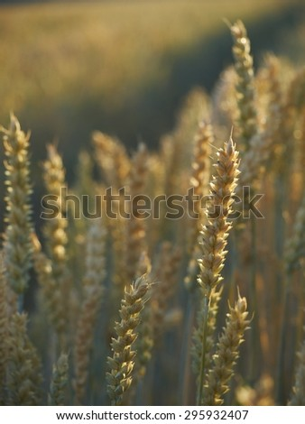 Close-up of ripened wheat ears with field path in the background in light of sunset.  - stock photo