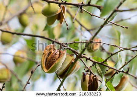 Close-up of ripening almond in almond tree branch - stock photo