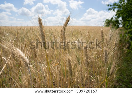 Close up of ripening ears of golden wheat in a farm field grown as a foodstuff and staple for humans or as silage and fodder for livestock - stock photo