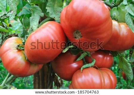 close-up of ripening tomato  in the vegetable garden - stock photo